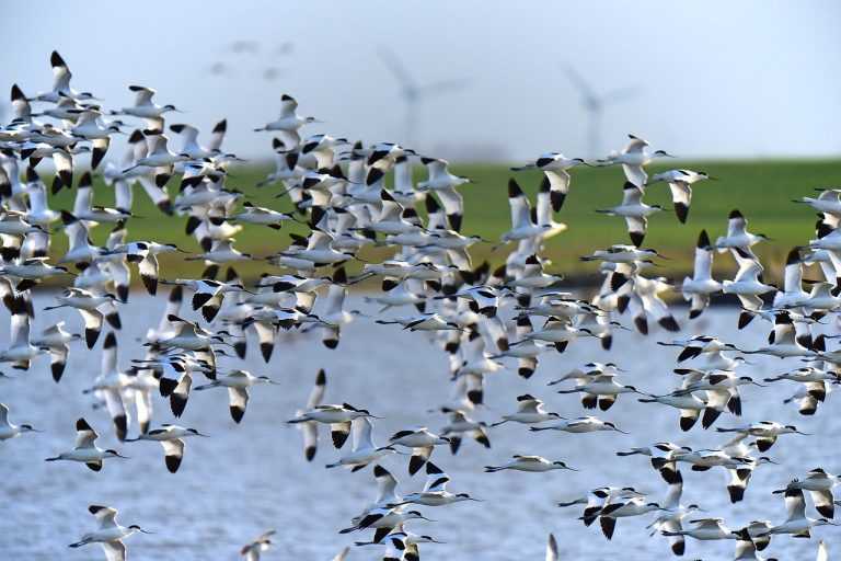 Migration of a flock of wild birds